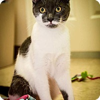 Domestic Shorthair Kitten for adoption in Trevose, Pennsylvania - Loki