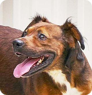 Australian Shepherd/Retriever (Unknown Type) Mix Dog for adoption in Lincolnton, North Carolina - Bobo  $ 10 Euth date 11/22