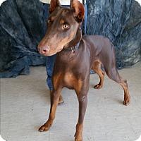 Adopt A Pet :: Maverick - Columbus, OH