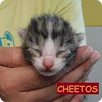 Adopt A Pet :: Cheetos - Batesville, AR