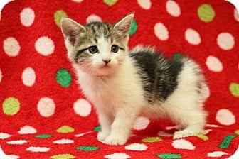 Domestic Shorthair Kitten for adoption in Yucaipa, California - Mayflower