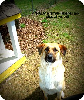 Labrador Retriever/Shepherd (Unknown Type) Mix Dog for adoption in Gadsden, Alabama - Nala