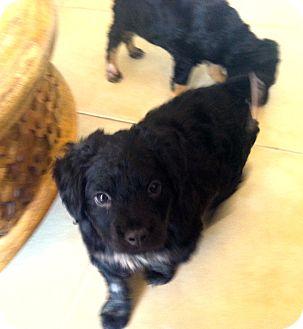 Rottweiler/Spaniel (Unknown Type) Mix Puppy for adoption in Miami, Florida - Ariel