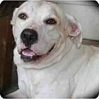Hound (Unknown Type)/Labrador Retriever Mix Dog for adoption in Kingwood, Texas - Axel