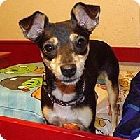 Adopt A Pet :: Suzie-Q - Phoenix, AZ