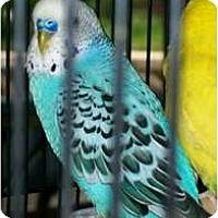 Adopt A Pet :: Vixen - Shawnee Mission, KS