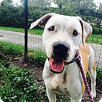 Pit Bull Terrier/Labrador Retriever Mix Dog for adoption in Davie, Florida - Buttercup Rose