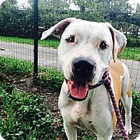 Adopt A Pet :: Buttercup Rose - Davie, FL