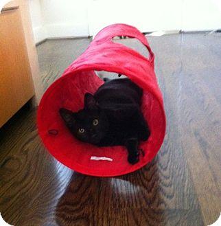 Siamese Kitten for adoption in Beverly Hills, California - Jessie