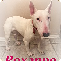 Adopt A Pet :: Roxanne - Dallas, TX