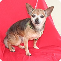 Adopt A Pet :: Chewie - Umatilla, FL