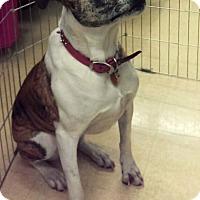 Adopt A Pet :: Velvet - Ogden, UT