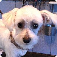 Adopt A Pet :: CHARMER - Chandler, AZ