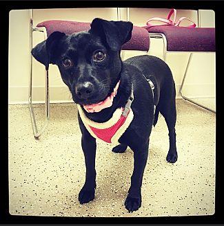 Schnauzer (Miniature)/Labrador Retriever Mix Dog for adoption in Grand Bay, Alabama - Pagan
