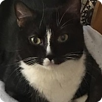 Domestic Shorthair Cat for adoption in New York, New York - Nugget