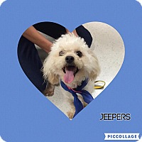 Poodle (Miniature)/Lhasa Apso Mix Dog for adoption in Tracy, California - Jeepers