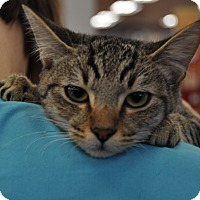Domestic Shorthair Cat for adoption in La Canada Flintridge, California - Abby
