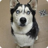 Husky Mix Dog for adoption in Apple Valley, California - Sheila #161131