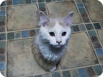 Domestic Longhair Kitten for adoption in North Wilkesboro, North Carolina - Pilgrim