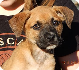 German Shepherd Dog/English Bulldog Mix Puppy for adoption in Williamsport, Maryland - Wren (7 lb) Video!