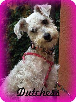 Miniature Schnauzer Dog for adoption in Anaheim Hills, California - Dutchess