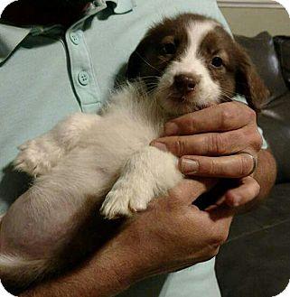 Border Collie Mix Puppy for adoption in Washington DC, D.C. - Annie