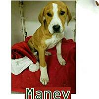 Labrador Retriever Mix Puppy for adoption in Manchester, Connecticut - maney pending adoption