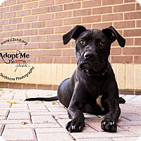 Labrador Retriever Mix Dog for adoption in Mooresville, North Carolina - Rio