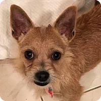 Adopt A Pet :: Bingo - San Diego, CA