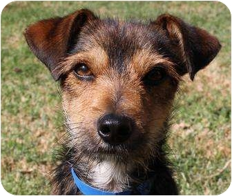 Yorkie Jack Russell Mix Jack russell terrier/yorkie,