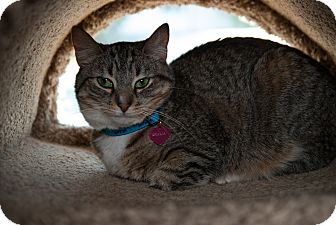 Domestic Shorthair Cat for adoption in Byron Center, Michigan - Dhalia