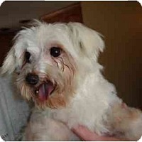 Adopt A Pet :: Doodle - Denver, CO