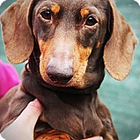 Adopt A Pet :: MYRTLE - New Windsor, NY