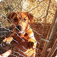 Adopt A Pet :: Sassy - North, VA