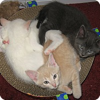 Adopt A Pet :: beauitiful kittens - brewerton, NY