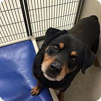 Adopt A Pet :: Midas 87079 - Joplin, MO