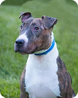 Bull Terrier Mix Dog for adoption in Las Vegas, Nevada - Chief