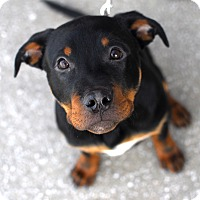 Adopt A Pet :: Louie-Adopted! - Detroit, MI