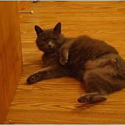 Photo 3 - Domestic Shorthair Cat for adoption in Muncie, Indiana - Nadia