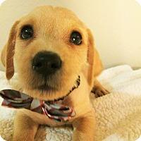 Adopt A Pet :: Putzie-Bryanna Pup - Encino, CA