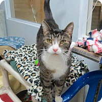 Adopt A Pet :: Tigger (Miss) - Lakewood, CO