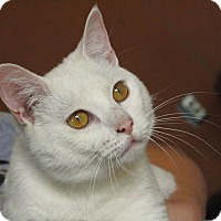 Adopt A Pet :: Snowball in CT - Manchester, CT