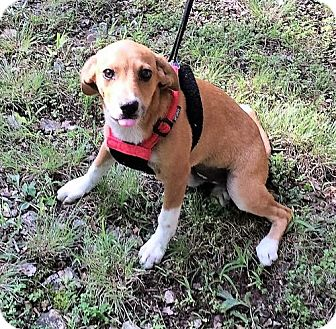 Sheltie, Shetland Sheepdog/Dachshund Mix Puppy for adoption in Florence, Kentucky - Judy Destin