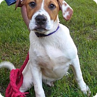 Adopt A Pet :: Pup Scout - Rockville, MD