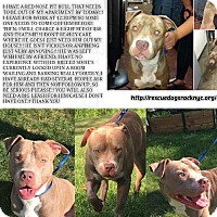 Pit Bull Terrier Dog for adoption in New York, New York - Tucker
