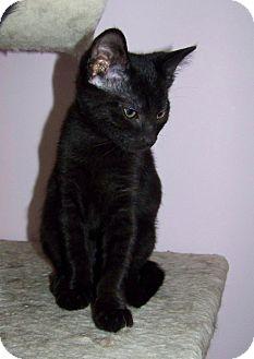 Domestic Shorthair Kitten for adoption in Gaithersburg, Maryland - Michonne