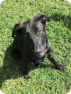 Labrador Retriever/Border Collie Mix Dog for adoption in Navarre, Florida - Ellie Mae