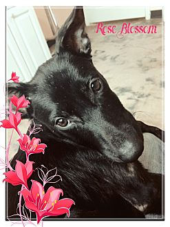 Labrador Retriever Puppy for adoption in Hartford, Connecticut - Rose Blossom