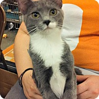 Domestic Shorthair Cat for adoption in Knoxville, Tennessee - Cutie