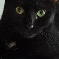 Domestic Shorthair Cat for adoption in Kingwood, Texas - Twinkletoes